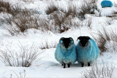 Teal Sheep Foundation